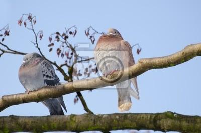 Tauben Brüten Im Baum