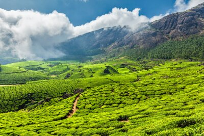 Fototapete Teeplantagen in Indien