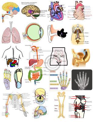 Teile des menschlichen körpers organe gehirn-herz-auge ohr knochen ...