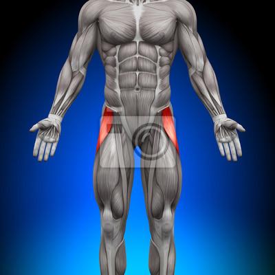 Tensor faszien latea - anatomie muskeln fototapete • fototapeten ...