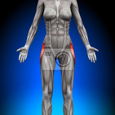 Tensor faszien latea - weibliche anatomie muskeln fototapete ...