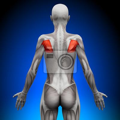 Teres - female anatomy muscles fototapete • fototapeten deltoid ...