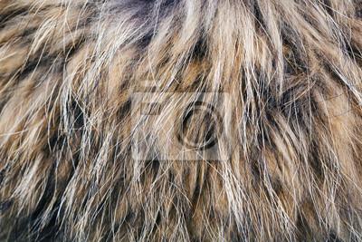 Fototapete Textur des Pelz-Waschbären mit einem langen Nickerchen