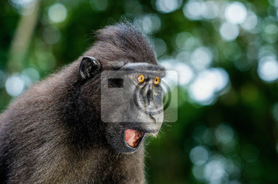 Fototapete The Celebes crested macaque with open mouth. Crested black macaque, Sulawesi crested macaque, or the black ape. Natural habitat. Sulawesi Island. Indonesia.