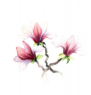 Fototapete the magnolia flowers watercolor isolated on the white background