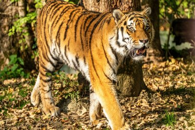 The Siberian tiger,Panthera tigris altaica in the zoo