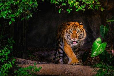 Fototapete The Siberian tiger (Panthera tigris tigris) also called Amur tiger