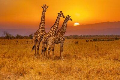 Fototapete Three giraffes and an african sunset
