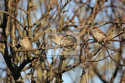 Three house sparrows on a twig