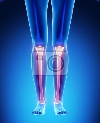 Tibia anatomie medizinischen scan fototapete • fototapeten Achilles ...