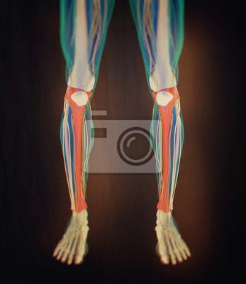Tibia knochen, menschliche anatomie. 3d abbildung. fototapete ...