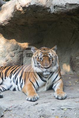 Tiger at Dusit Zoo in Bangkok., THAILAND.