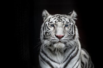 Fototapete Tiger Bengal white variation. Beautiful female white tiger.