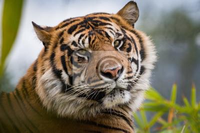 Tiger Blick über die Schulter