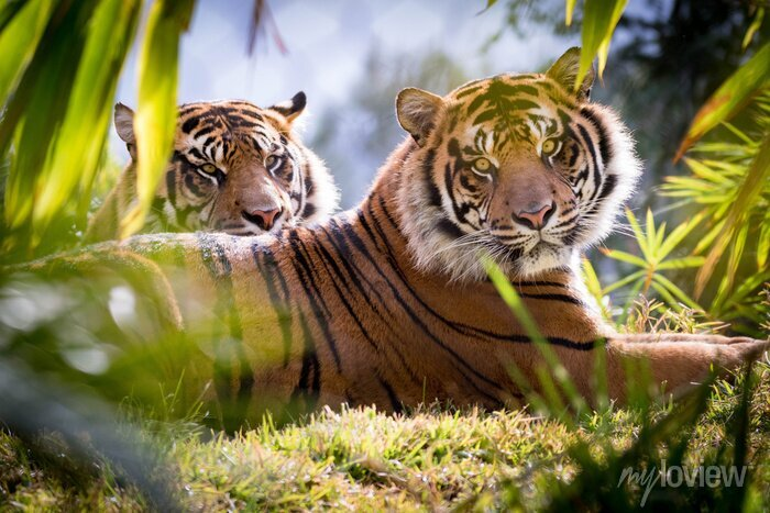 Fototapete Tiger-Brüder
