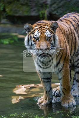 Tiger brüllt
