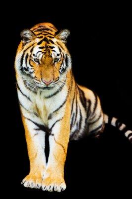 Fototapete Tiger, der aus Schatten herausgeht