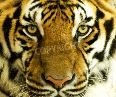 Fototapete Tiger face