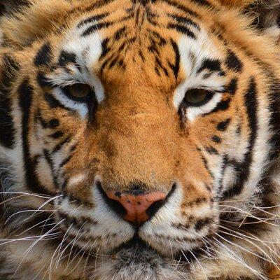 Fototapete Tiger Gesicht Closeup