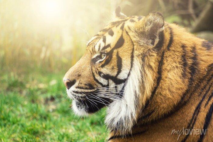 Fototapete Tiger im Profil