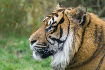 Tiger im Seitenprofil in ruhiger Stimmung