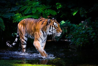Fototapete Tiger im Wasser.