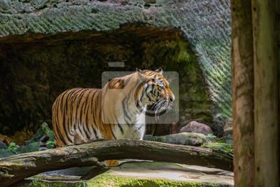 Tiger in der Höhle
