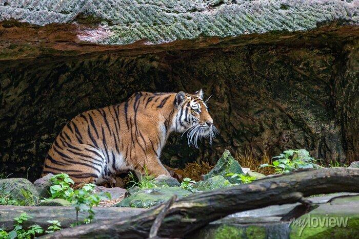 Fototapete Tiger in der Höhle