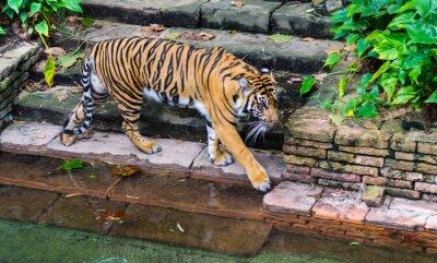 Fototapete Tiger in der Nähe von Wasserloch