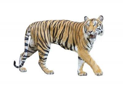 Fototapete Tiger isoliert auf weißem Hintergrund mit Clipping-Pfad.