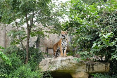 Tiger ist eine wilde Rate.