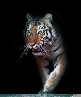 Fototapete Tiger kommen aus