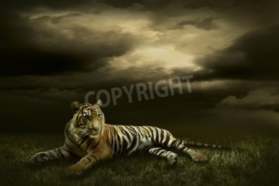 Fototapete Tiger looking and sitting under dramatic sky with clouds