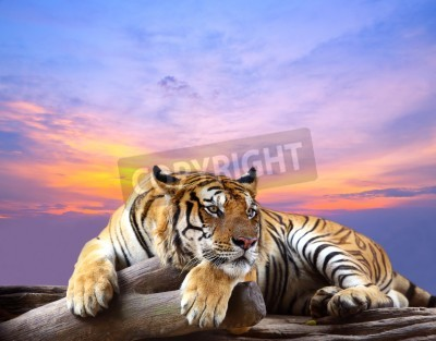 Fototapete Tiger looking something on the rock with beautiful sky at sunset time
