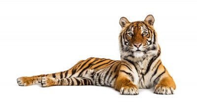 Fototapete Tiger lying down isolated on white