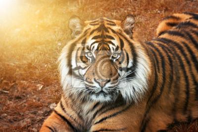 Tiger männchen bei Sonnenuntergang