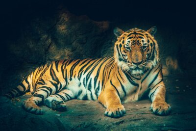 Tiger mit Stein Berg Hintergrund in dunklen grimmig majestätischen gefährlich, erschreckend Gefühl Farbeffekt.