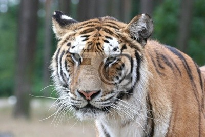 Tiger Portrait - Close up Gesicht Schuss