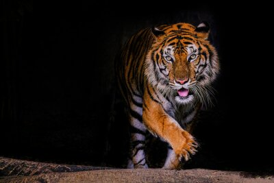 Fototapete Tiger portrait of a bengal tiger in Thailand on a black background