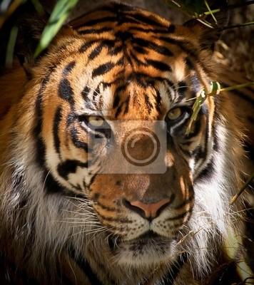 Tiger Porträt