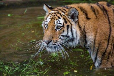 Tiger-Porträt