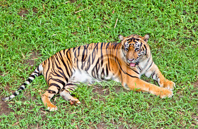 Tiger, Porträt einer Bengal-Tiger.