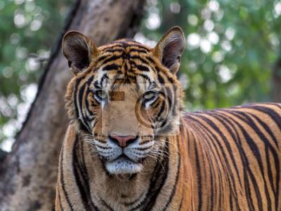 Tiger, Porträt eines Bengal-Tiger
