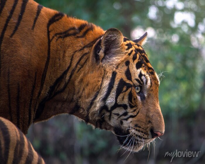 Fototapete Tiger, Porträt eines Bengal-Tiger