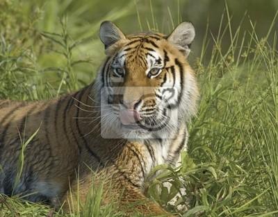 Tiger Porträt mit langen Teleobjektiv