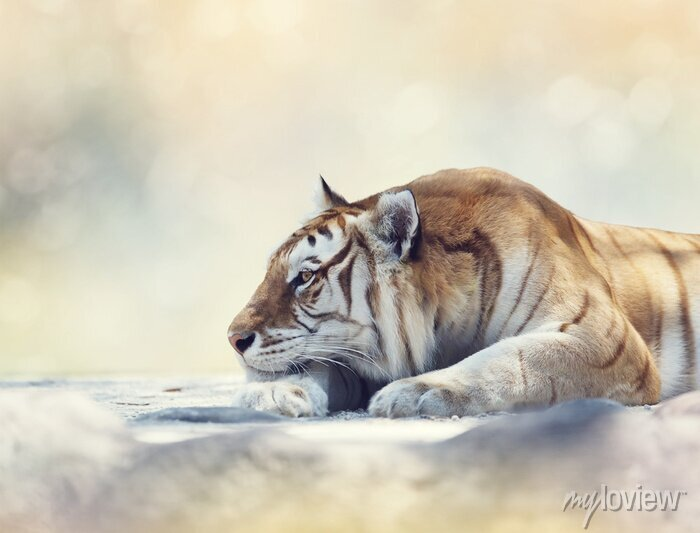 Fototapete Tiger ruht auf einem Felsen