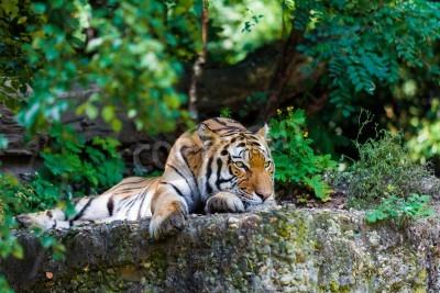 Fototapete Tiger. Schöne Tiger Porträt