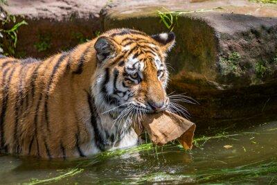 Tiger schwimmt