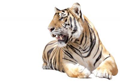 Tiger sitzen