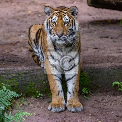 Tiger sitzt auf Baum